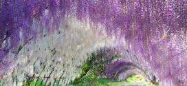 Mesés lilaakác lugas Japánban