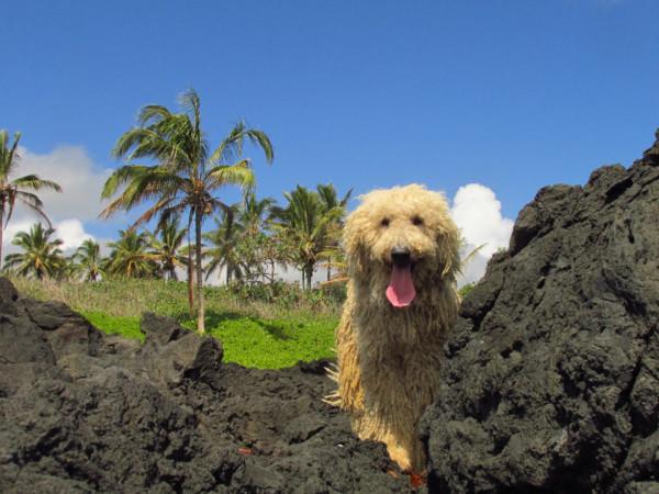 Hawaii_magyar_komondor_Betyar