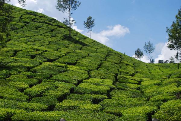 Kerala_teaultetveny