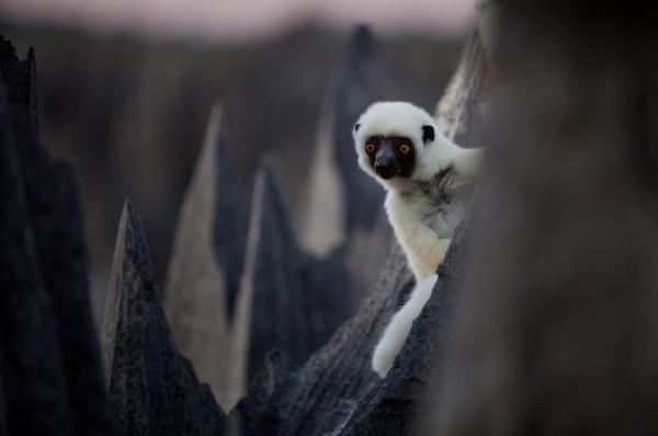 Tsingy_lemur_Madagaszkar