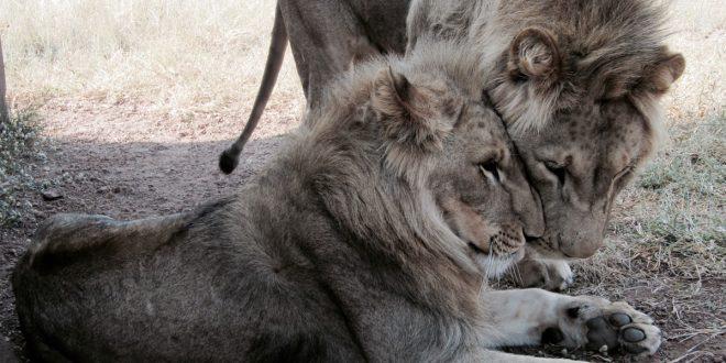 Így lettem önkéntes az oroszlánokkal suttogó táborában, Dél-Afrikában