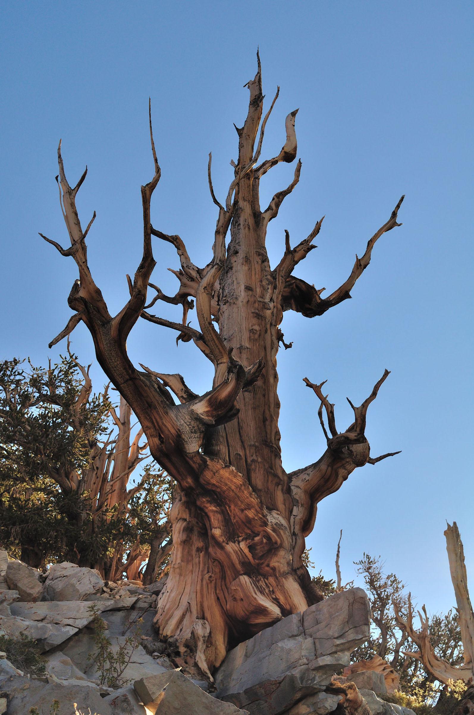 matuzsalem_erdo_ancient_bristlecone_pine_forest_1