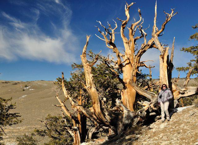 matuzsalem_erdo_ancient_bristlecone_pine_forest_4