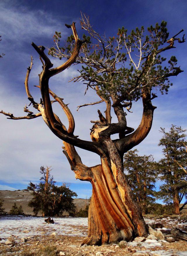 matuzsalem_erdo_ancient_bristlecone_pine_forest_5