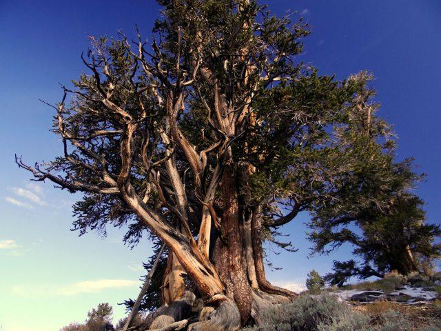 matuzsalem_erdo_ancient_bristlecone_pine_forest_6